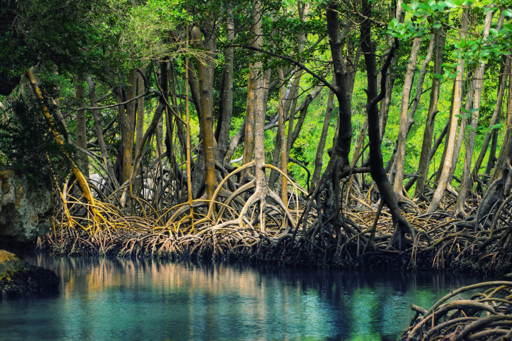 mangroves and their importance
