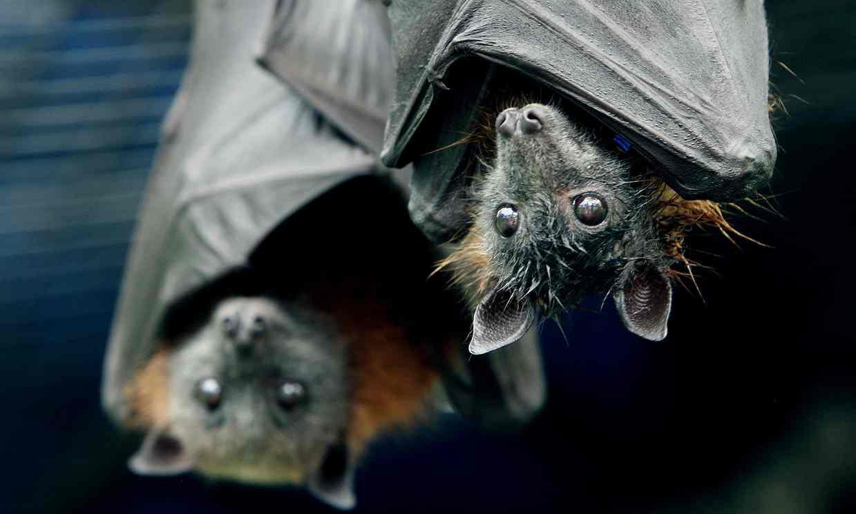 Modern threats to bats have both bat lovers and farmers concerned. Photograph: Liam Driver/Rex Feature
